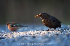 DSC_0589-2 (nigelsnell) Tags: birds cairnwood countydown bird blackbirdturdusmerula ononesoftware photo10
