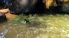 IMG_1781 (jalexartis) Tags: bask basking baskingstone baskingrock aquatic aquatichabitat aquarium abovetanknetting turtlesecurity fallsafe lighting perspective jalexartis