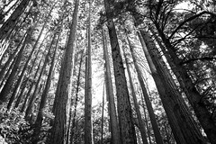 (ZAPATA! PHOTO) Tags: 2015 zapataphoto bayarea ca caredwoods california coastredwoods goldengatenationalrecreationarea marincounty muirwoods muirwoodsnationalmonument norcal redwood redwoods ricardozapata ricardozapataphotography sfbay sanfranciscobay hiking justforfun juststuff nature outdoors redwoodtree redwoodtrees roadtrip scenery scenic vacation