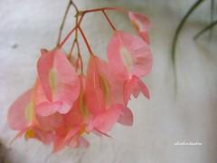 Suavidad (adioslunitaadios) Tags: florrosa plantasyflores airelibre miniflores tonalidades tonospastel macro fujifilm