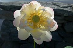 Lotus Blossom (James0806) Tags: saunderstown rhodeisland usa lotus lotusflowers flowers white yellow