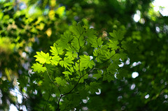 Maple Vine (Kristian Francke) Tags: bokeh vine maple bc canada british columbia outdoors plant plants tree leaves trees natur nature natural golden sun green yellow summer july 14 2016 sunshine orange explore inexplore explored flickr flickrexplore