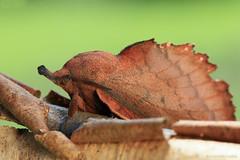 'Oak leaf' (ildikólaskay) Tags: macro moth nachtfalter heterocera molylepke lappet gastropachaquercifolia kupferglucke feuillemorteduchêne tölgylevélpohók hungary falena farfallanotturna