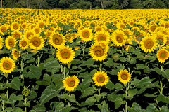 Sunflower fields (Kathy~) Tags: annarbor michigan yellow flower sunflower field hp fc instagram ff