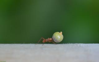 Atom ant.