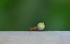 Atom ant. (Carlos Arriero) Tags: atomant hormigaatómica carlosarriero insecto hormiga ant nikon d800e 105mm naturaleza nature macro vidaanimal costarica tortuguero verde green dof bokeh composición composition neogeo