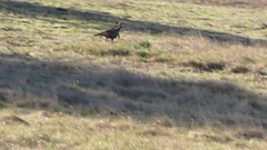Wild Turkey running scared (ronking1) Tags: anzaborregodesertstatepark birds cuyamacastatepark places wildturkeys