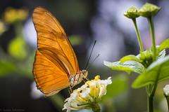 Julia Butterfly (Susan.Johnston) Tags: butterflygarden calgaryzoo juliabutterfly botanicalgarden butterfly