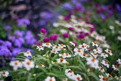 colors of summer (gwuphd) Tags: iscogottingon westrocolor 50mm f19 bokeh summer colors