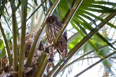 IMG_7837.jpg (M Bee) Tags: animals barkingowl bird