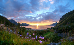 sunset and flowers (John A.Hemmingsen) Tags: sunset sky fujifilm flowers wideangle clouds summer troms troms grtfjord nordnorge evening mountains samyang8mm xe1 fisheye