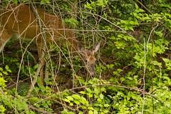 7K8A3803 (rpealit) Tags: scenery wildlife nature east hatchery alumni field hackettstown whitetail deer