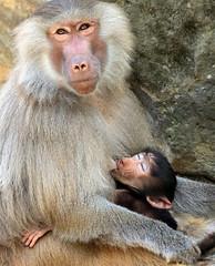 hamadryas macaque Berlin Zoo JN6A0949 (j.a.kok) Tags: berlijn berlin zoo monkey baviaan baboon mantelbaviaan hamadryasbaboon