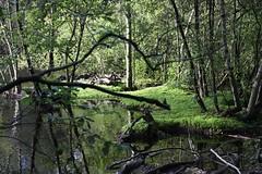 Verwunschen (franxpost) Tags: verwunschen eppendorfer moor grn wald bltter wasser weiher spiegelung