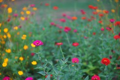 a little impressionist garden (gwuphd) Tags: enna lithagon 85mm f15 garden flower bokeh swirly