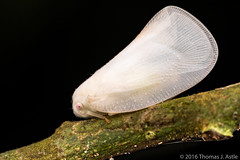 White Treehopper (Tom's Macro and Nature Photographs) Tags: macrophotography insects arthropods treehoppers white hemiptera peru amazon rainforest