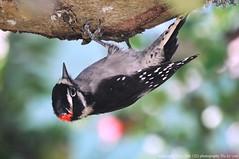 2016-08-18 Downy Woodpecker (03) (1024x680) (-jon) Tags: anacortes skagitcounty skagit washingtonstate fidalgoisland sanjuanislands bird woodpecker downywoodpecker male picoidespubescens a266122photographyproduction