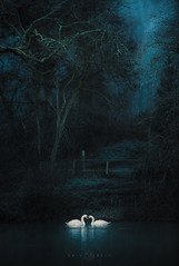 Swan Lake (Kristian Bell) Tags: swans couple love heart lake night canon forestofdean uk atmosphere kris kristian bell