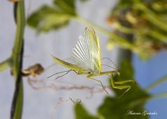 IMG_2016_09_24_7545 (gravalosantonio) Tags: insecto mantodeo mantidae animalia arthropoda mantis religiosa jaca huesca espaa huerto ecologico