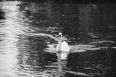 Fly by! photobombed by a duck.... (Greta Powell) Tags: blackandwhite swans ducks nature lightroom photoshop digital naturalworld staffordshire birds water rivers reflections bw rivertrent burton