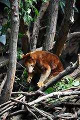 Matschie's tree kangaroo (markusOulehla) Tags: bronxzoo nyc newyorkcity markusoulehla nikond90 citytrip thebigapple usa