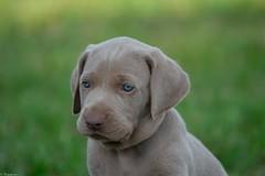 Chiot Braque de Weimar (Mystycat =^..^=) Tags: braquedeweimar weimaraner greyghost chien dog hund perro chiot puppy animal