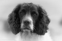 ZigZag (Flemming Andersen) Tags: dogs zigzag hund black white animal blackwhite vestervig northdenmarkregion denmark dk