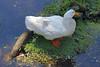 Goose (iansand) Tags: warriewood goose