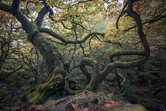 Tangled (R J Harris) Tags: canon5dmk4 canon163528l leefilters peakdistrict padley padleygorge grindleford woods woodland trees aut autumn landscape
