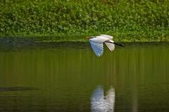 Flaps Down (brev99) Tags: egret birdinflight bird bif reflection pond crescentpark greenbackground tamron70300vc d7100 ngc highqualityanimals nikviveza