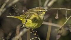 Palm Warbler IMG_4716 (ronzigler) Tags: palm warbler bird avian nature birdwatcher sigma 150600mm canon 60d