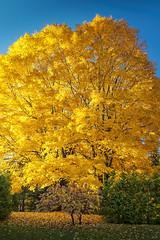 Manteau d'automne (rtetreault99) Tags: arbre automne canada laurentides piedmont qubec saison