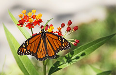 Monarch Migrating Butterfly (Ellsasha) Tags: monarchbutterfly butterflies butterfly insects orange nativeplants texasflowers flowers plants greens oranges