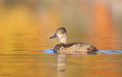 Fuligule  collier - Ring-necked duck (Maxime Legare-Vezina) Tags: bird oiseau nature wild wildlife animal fauna biodiversity ornithology fall automne reflection lake canon water colorful duck