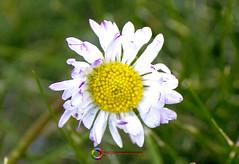 RESISTERE AL GELO (Photografandoilmondo) Tags: fiori flower gelo freddo inverno