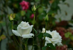 Rosa (bosilucabasilio) Tags: fiori flowers prati colori natura verde prato pianta fiore paesaggio campo allaperto profondità di aiuola persone
