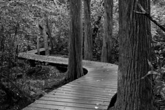 Meandering in the Cedar Swamp (brucetopher) Tags: swamp boardwalk meander walkway hike trail path curve curvy winding wind trees swampy lowland moss tree solitude private quiet peaceful dark peace shade shady cool green black white blackandwhite bw blackwhite monochrome tone tones
