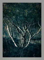 sunset Birch Sonata. (markrbowman) Tags: goldenhour scotland woods forest silverbirch birch ukpotd appicoftheweek
