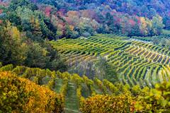 vineyards (G.hostbuster (Gigi)) Tags: vigneti vineyards autunno autumn colori colors barolo la morra ghostbuster