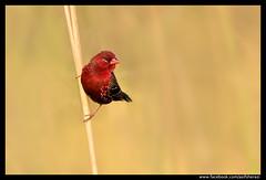 Beauty of The Nature (asifsherazi) Tags: redavadavat redmunia strawberryfinch islamabad pakistan asifsherazi