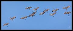 Sandhill Cranes in migration formation (ingridvg) Tags: sandhillcranes sandhill cranes migration flight overhead birds alberta