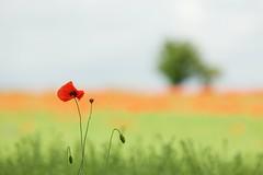Poppy (Future-Echoes) Tags: 5star 2016 bokeh cambridgeshire depthoffield dof field flintcross flowers nature poppies poppy red summer