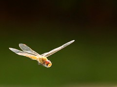 I believe I can fly (peet-astn) Tags: green insect fly spring southafrica dragonfly