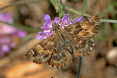 Carcharodus alceae - the Mallow Skipper (BugsAlive) Tags: butterfly butterflies mariposa papillon farfalla schmetterling  animal outdoor insects insect lepidoptera macro nature hesperiidae carcharodusalceae mallowskipper pyrginae wildlife ardche plateaudesgras liveinsects france