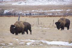 2 Curious Young Fellows (nleibel) Tags: bison grasslandsnationalpark