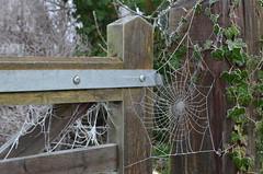Frozen Spider Web (westport 1946) Tags: winter england gate ivy warwickshire kenilworth gatepost frostedweb frozenspiderweb frozenivy