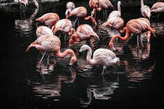 Flamingos im Wasser (Fotos4RR) Tags: winter lake dark zoo mirror see flamingo spiegelung dunkel schmiding zooschmiding ruby10 ruby15 ruby20