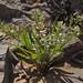 common peppercress, Lepidium densiflorum