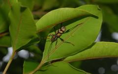 Flower Longicorn Beetle (dustaway) Tags: beetle coleoptera cerambycidae insecta australianinsects aridaeusthoracicus flowerlongicornbeetle