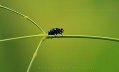 Fly (Shanmuga Velan) Tags: india macro green home fly stem nikon ngc insects monsoon chennai tamilnadu housefly tamaron shanmugavelan